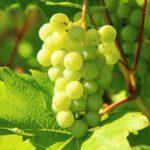 Genieten van je eigen druivenplant